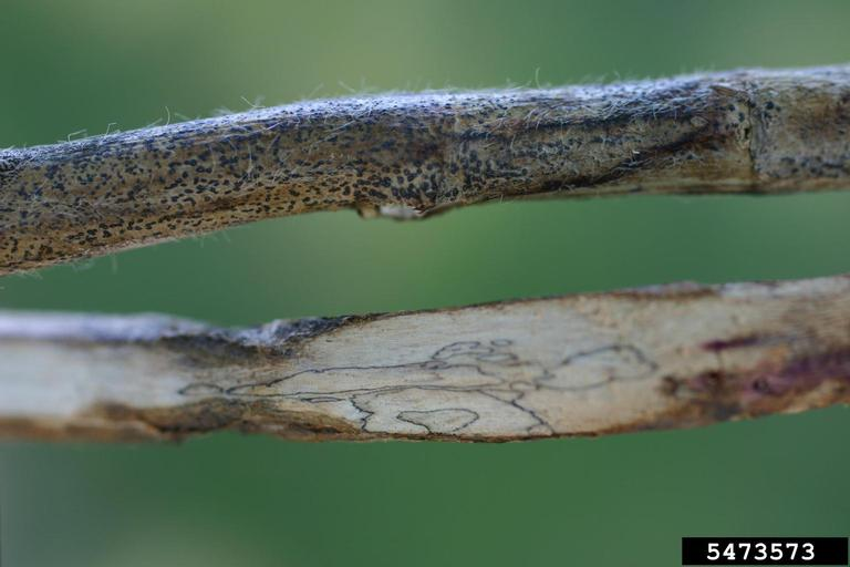 signs and symptoms of charcoal rot on soybean stems