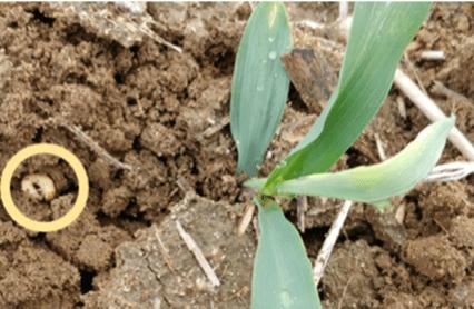white grub next to corn plant in field