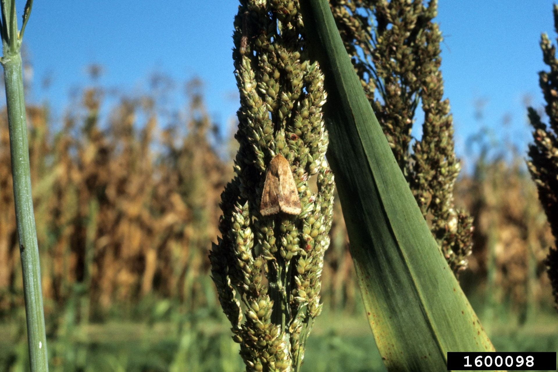 Corn earworm female in sorghum. Image: John C. French Sr