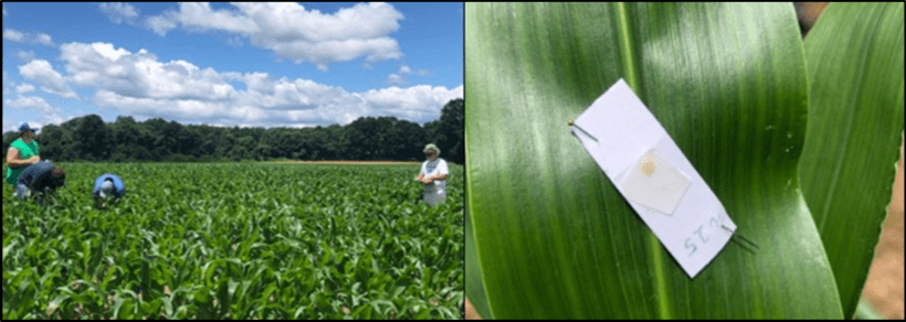 Sampling for pests and beneficials (left) and; sentinel European corn borer egg mass (right).