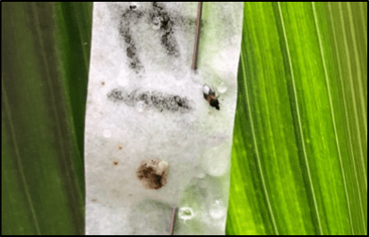 Minute pirate bug on European corn borer egg mass.