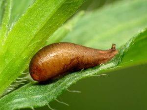 syrphid pupa on leaf