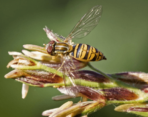 syrphid fly on flower