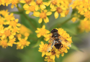 syrphid fly on yellow flower