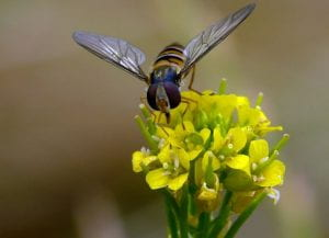 syrphid fly in yellow flower