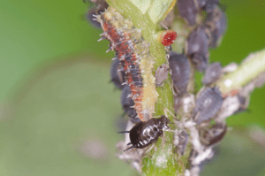 syrphid fly larvae feeding in aphid