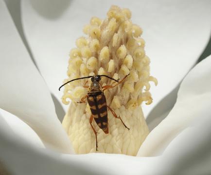 longhorned beetle on white flower