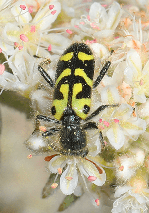 black and yellow beetle on white flower