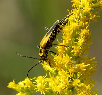 beetle on yellow flower
