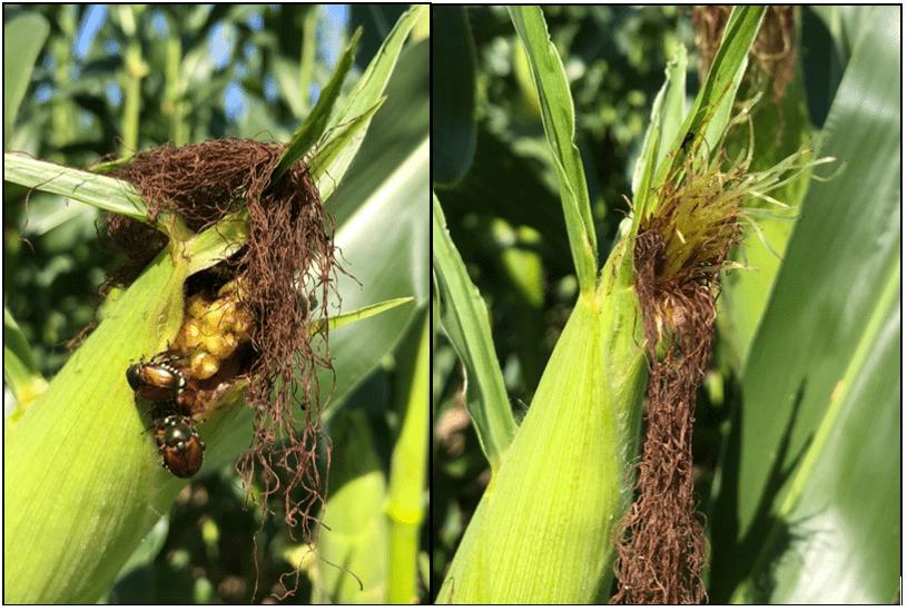 japanese beetles on corn silks