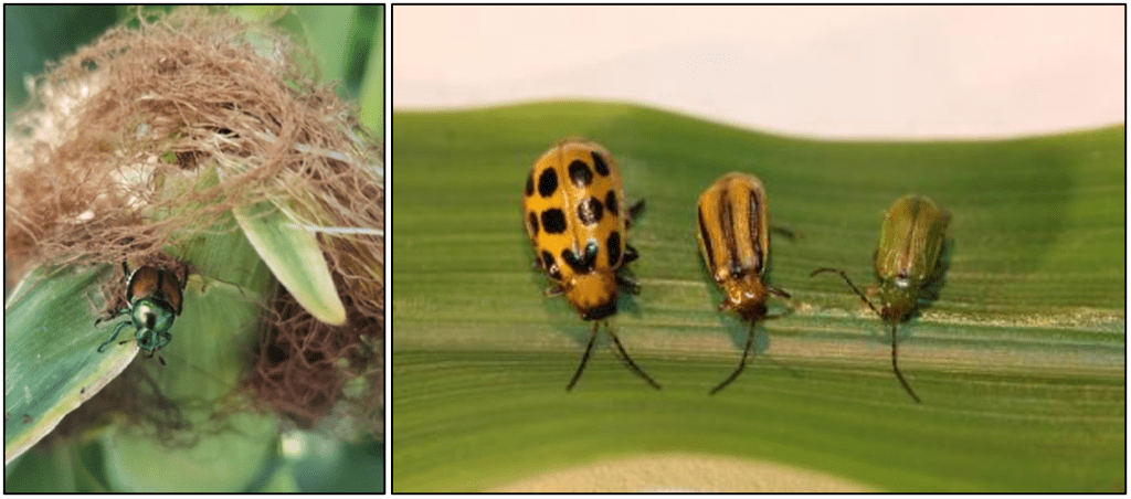 japanese beetle and other beetles on corn