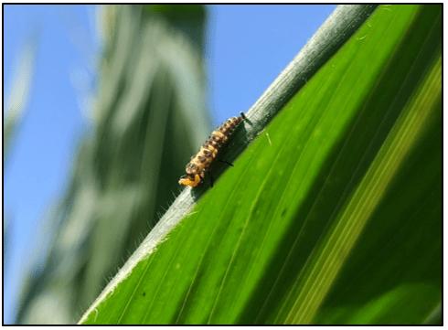lady beetle larva on corn leaf