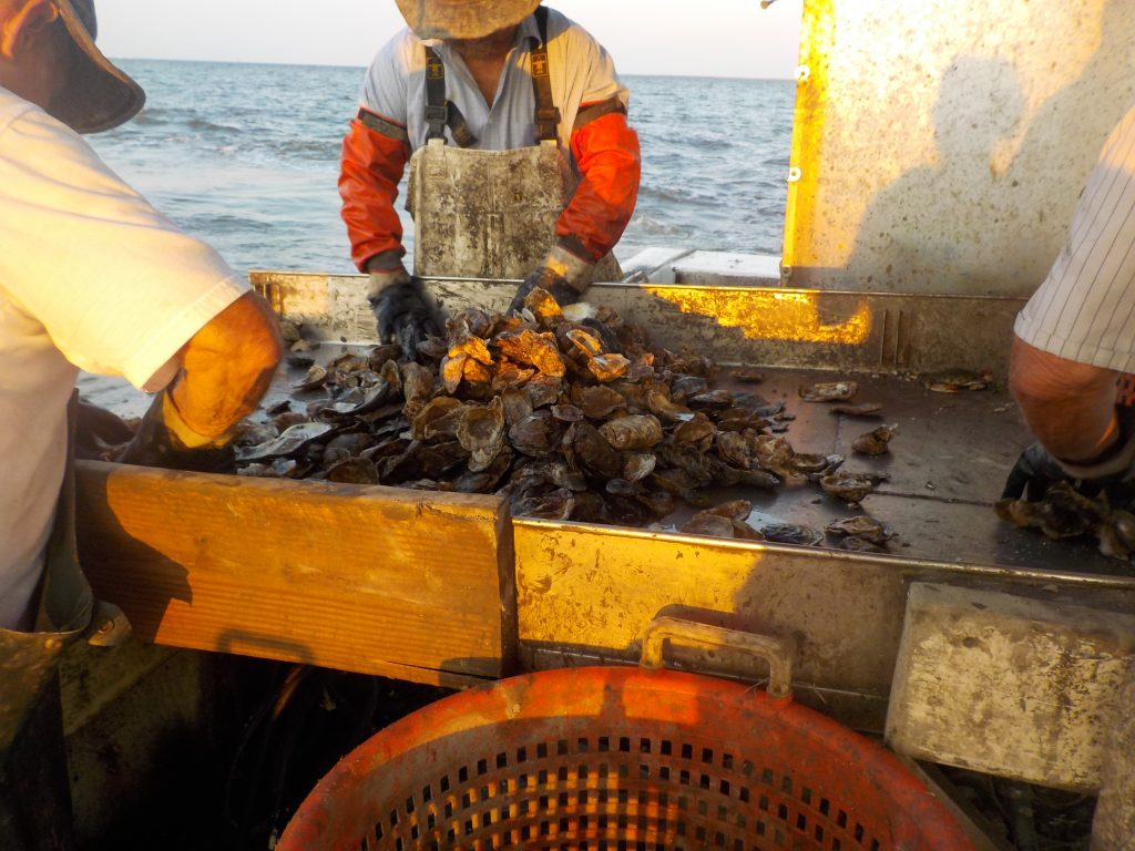 Dredged oysters