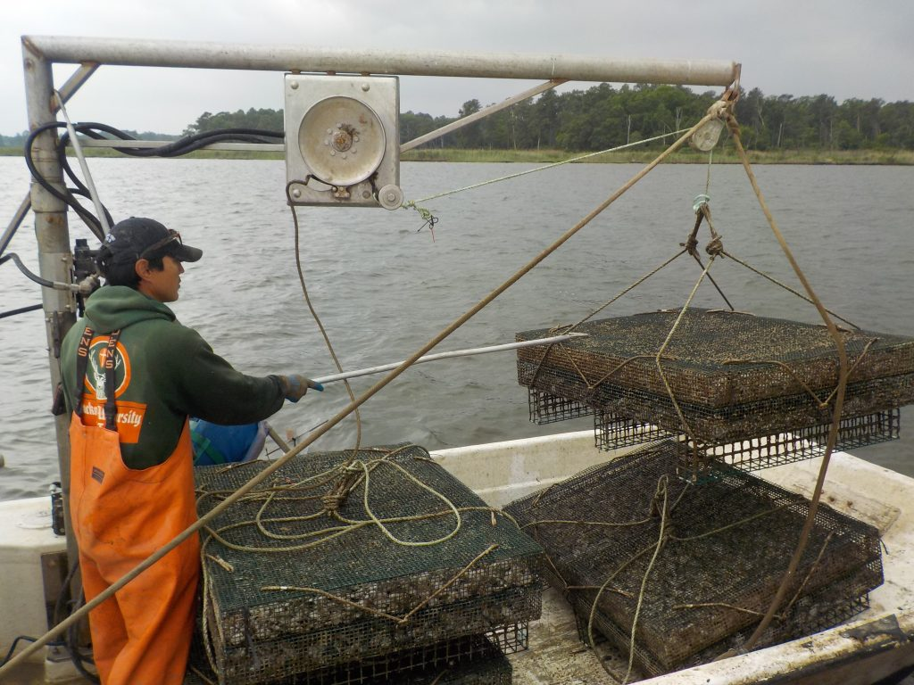 Oyster farmer Scott Budden pulling oyster cages