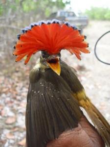 Royal Amazon Flycatcher