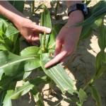 Scouting tassel emergence sweet corn
