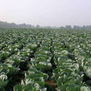 cabbage-field-sq