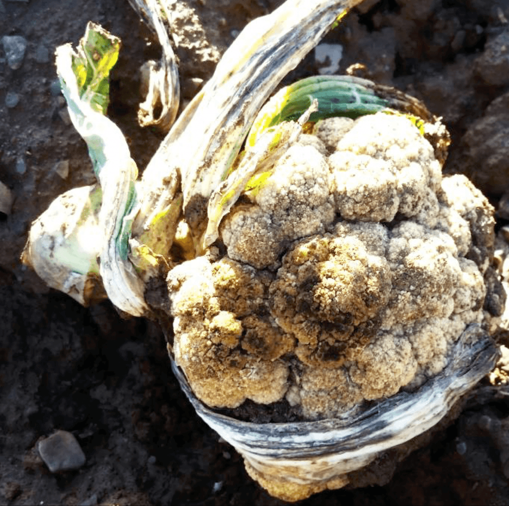 Overwintered cauliflower curd left in the field from previous season