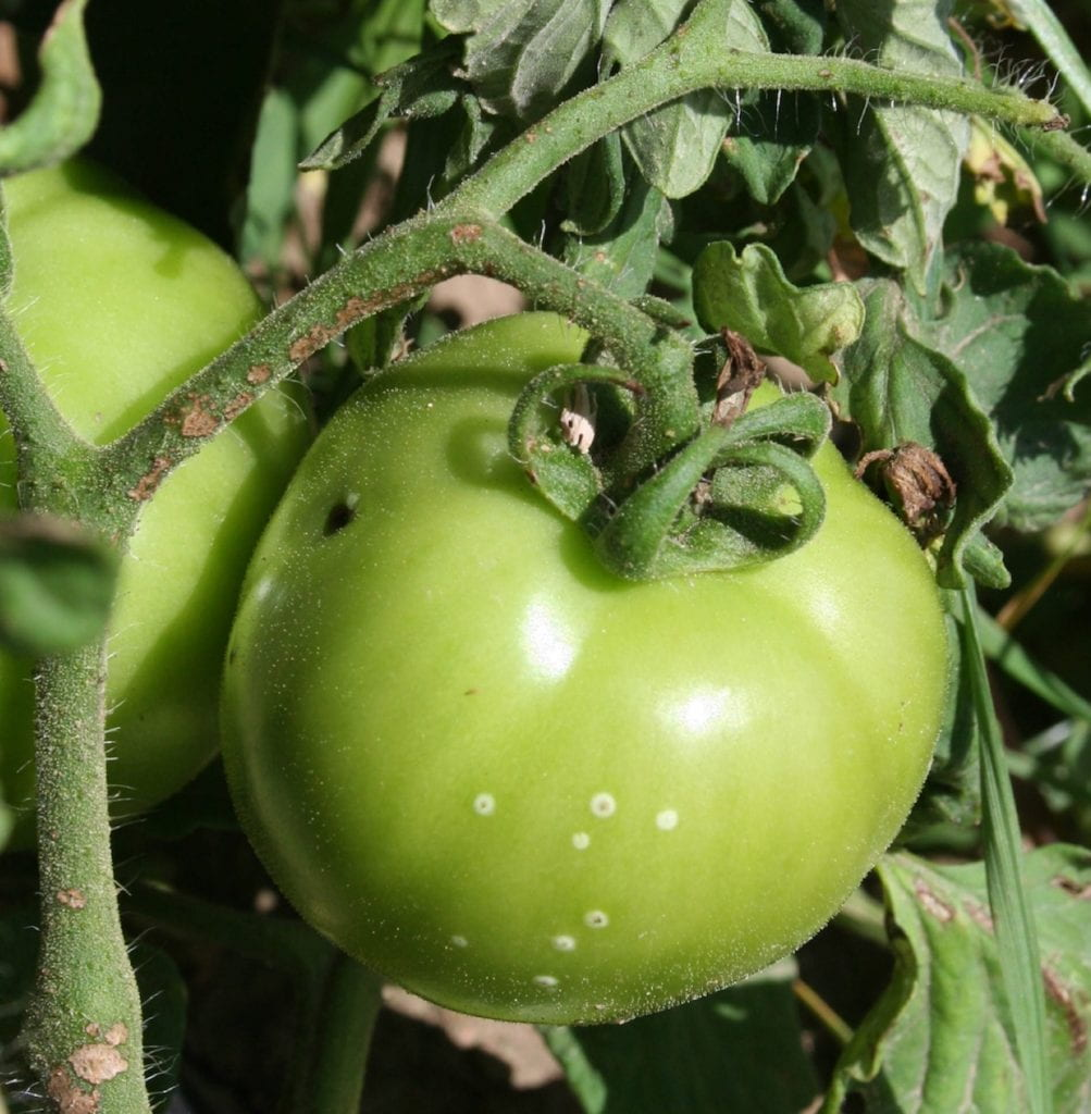 A tomato fruit with 'bird's-eye' lesions