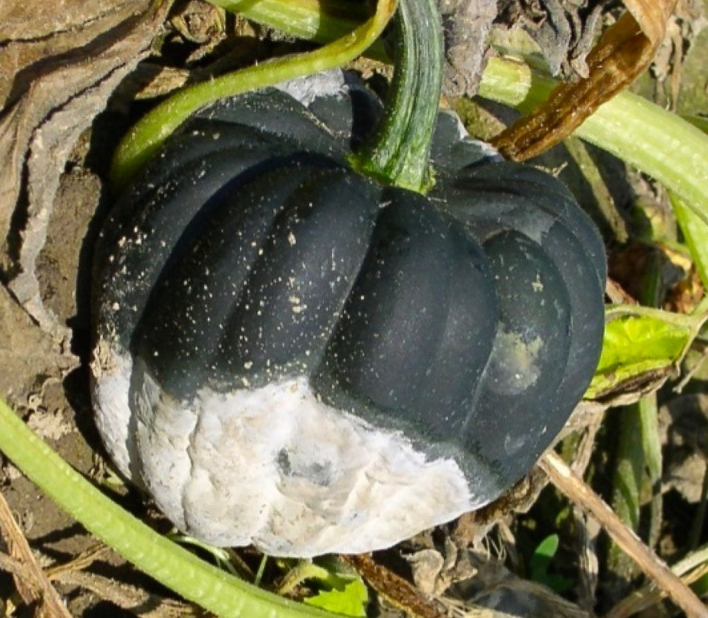 Culled squash containing many oopsores.