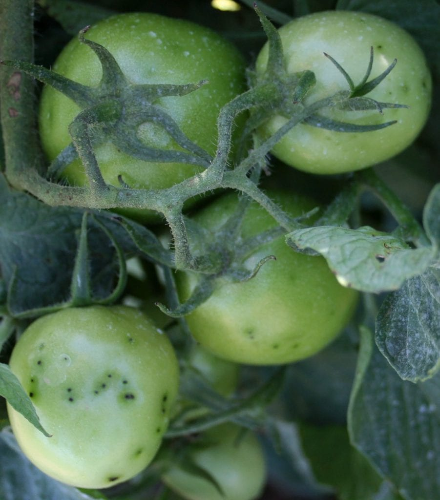 Small speck-like lesions on developing tomato fruits