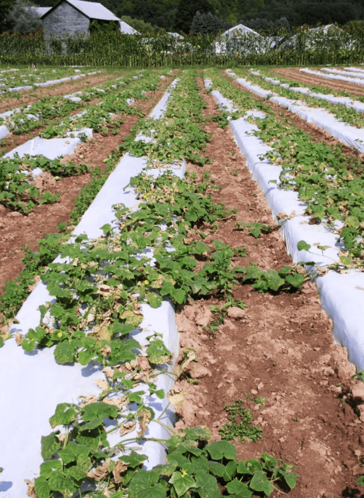 Cucurbit downy mildew in a cucumber field with many necrotic lesions