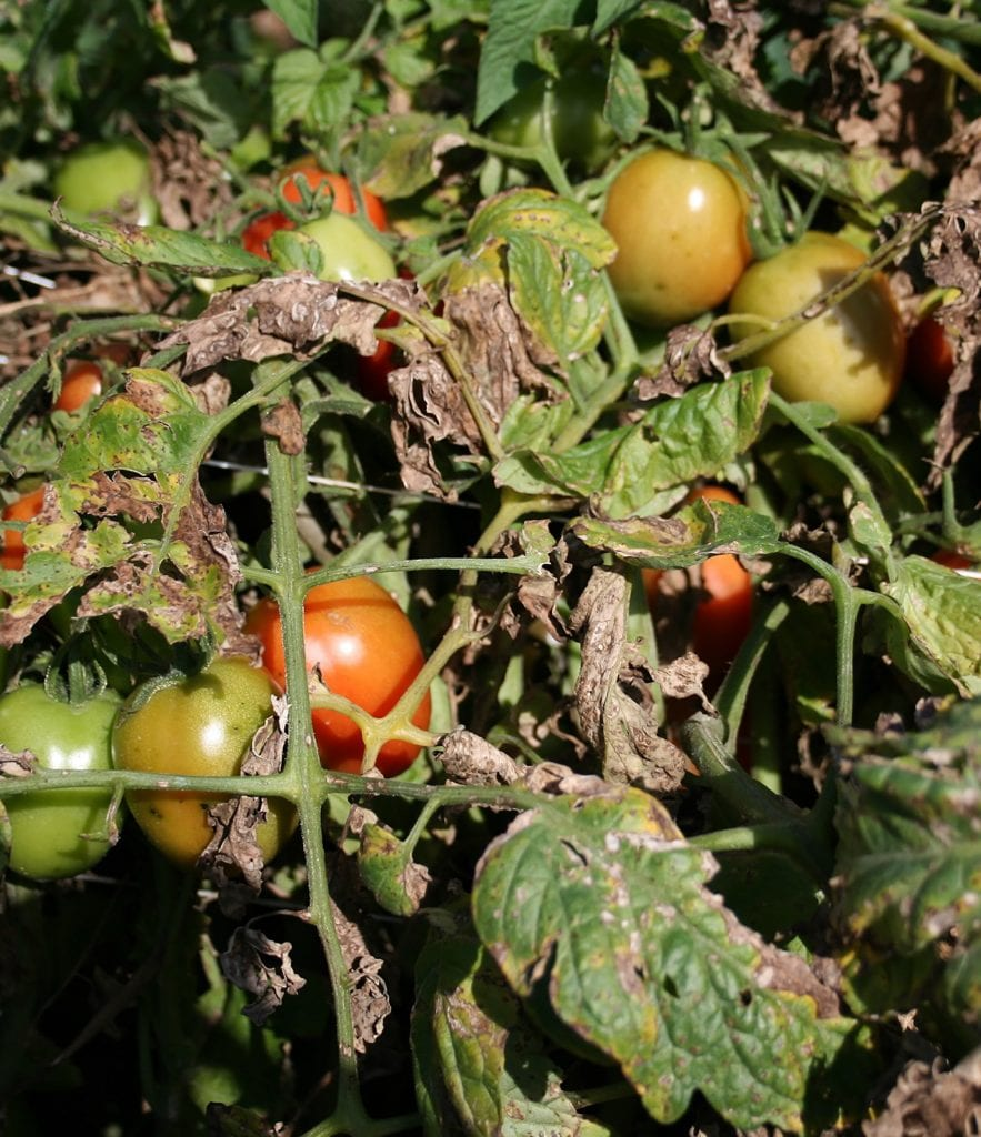Tomato plants in a field with severe symptoms of bacterial speck