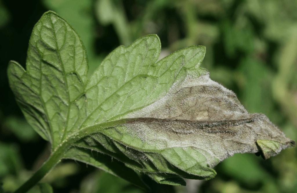 Characteristic lesion on tomato plant