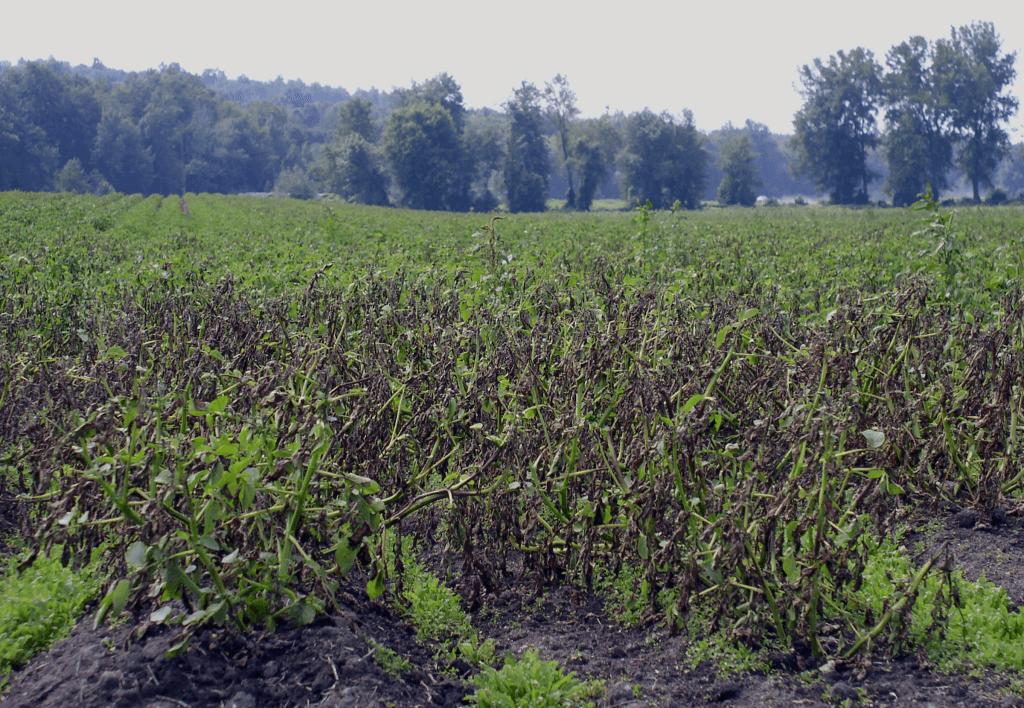 A potato field damaged by late blight