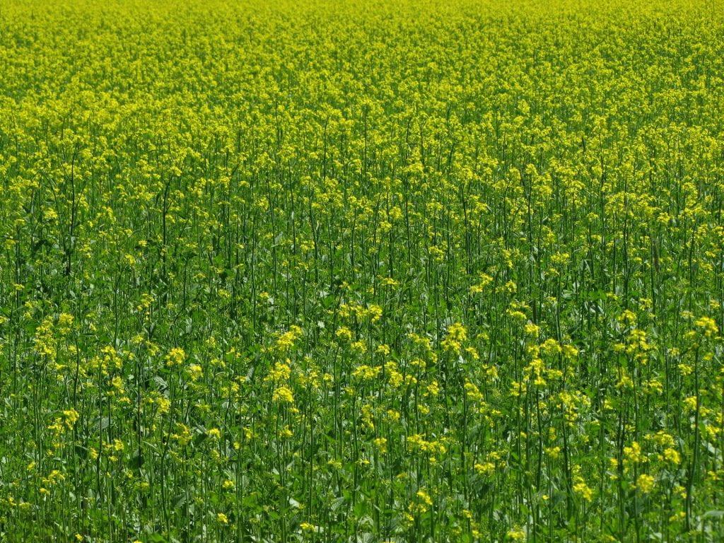 field of flowering mustard