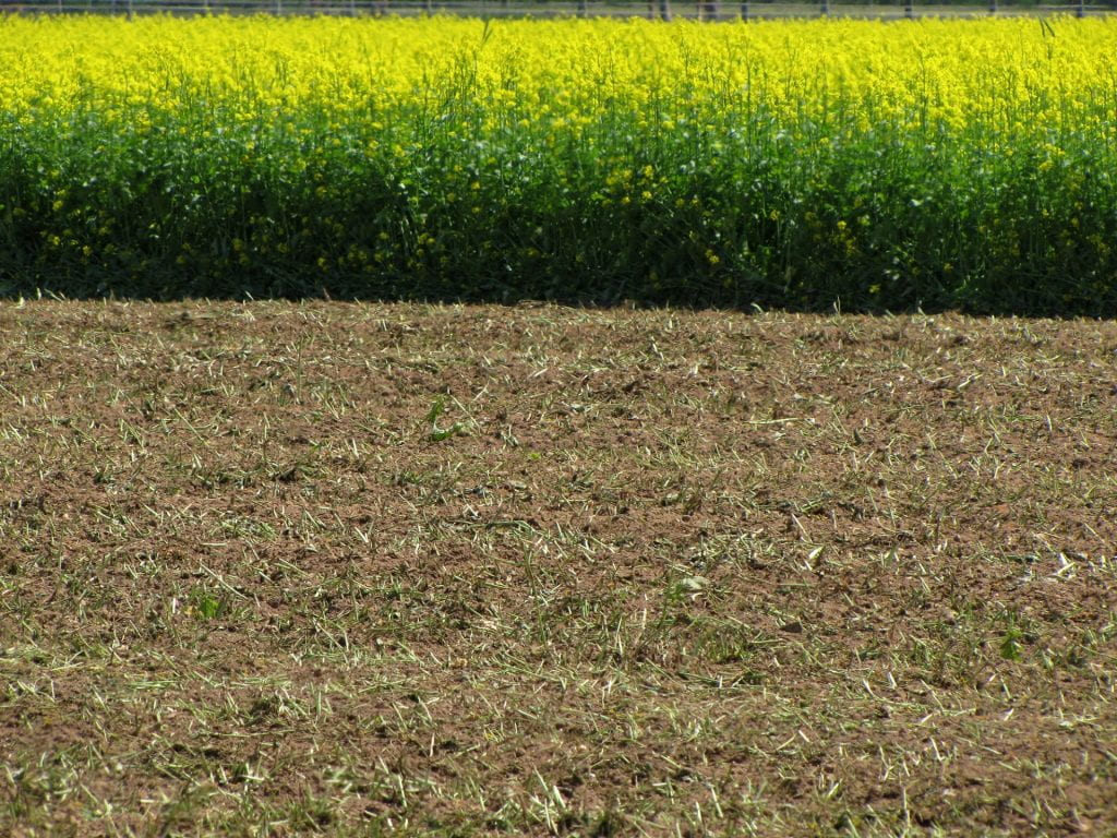 mustard crop incorporated into soil