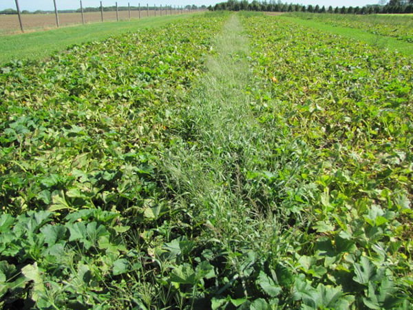 Reduced tillage was used in the left side of the field photograph while the right side was conventionally tilled.