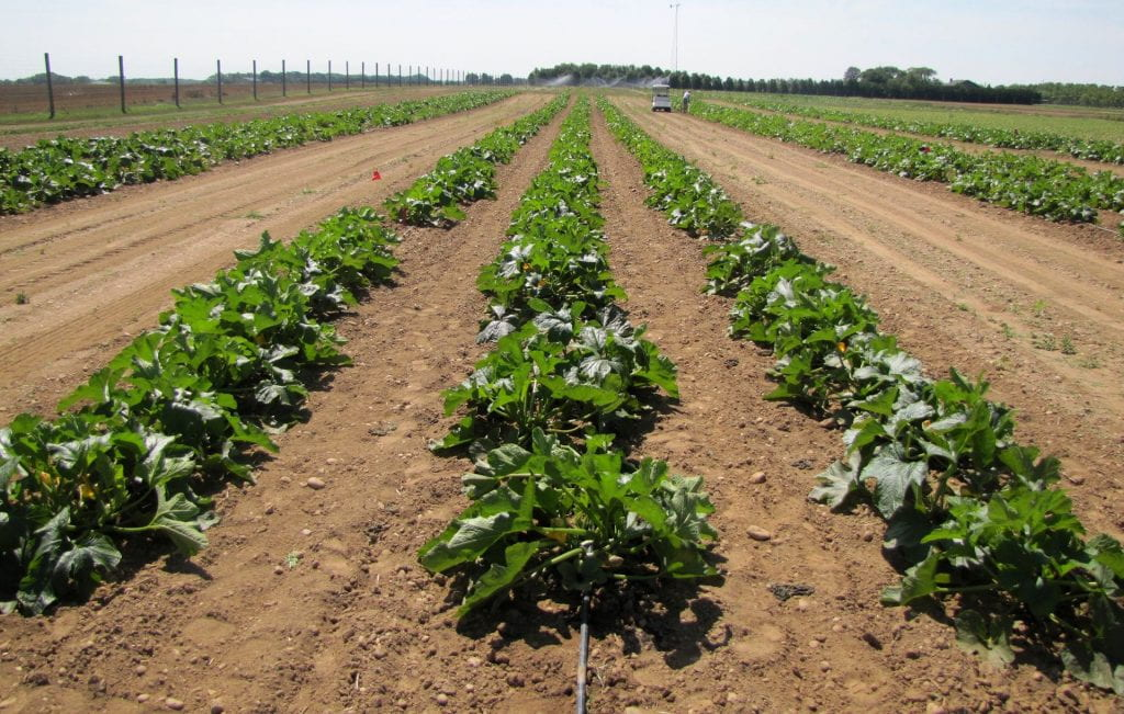 strip tilled squash plants later in the season