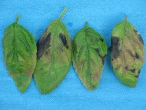 damaged basil leaves