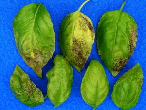 basil leaves with thrips damage