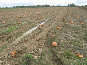 pumpkin field lost to blight