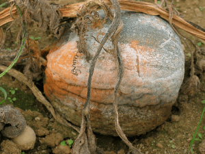 pumpkin covered with sporangia