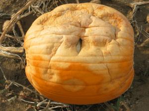 pumpkin with no sporulation