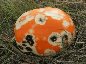 pumpkin also affected with Phytophthora capsici
