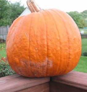 blight symptoms on pumpkin