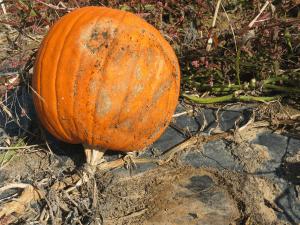 affected pumpkin on plastic mulch