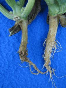 rotten crown of a pumpkin plant