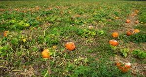 whole field destruction of pumpkins