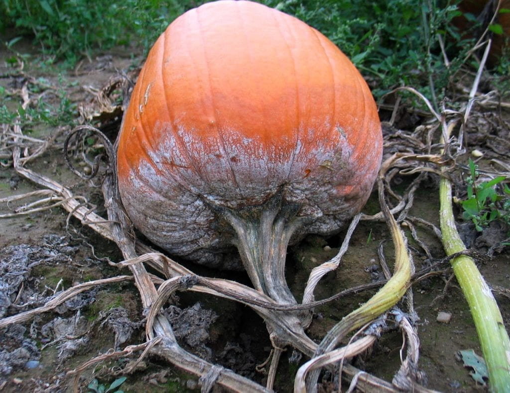 pumpkin stem and fruit showing systemic infection