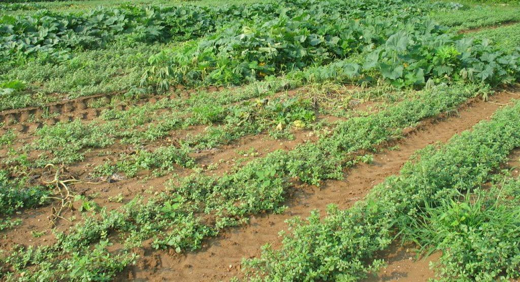 purslane in low spot in pumpkin field