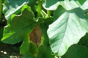 cucurbit leaves with phytophthera spots