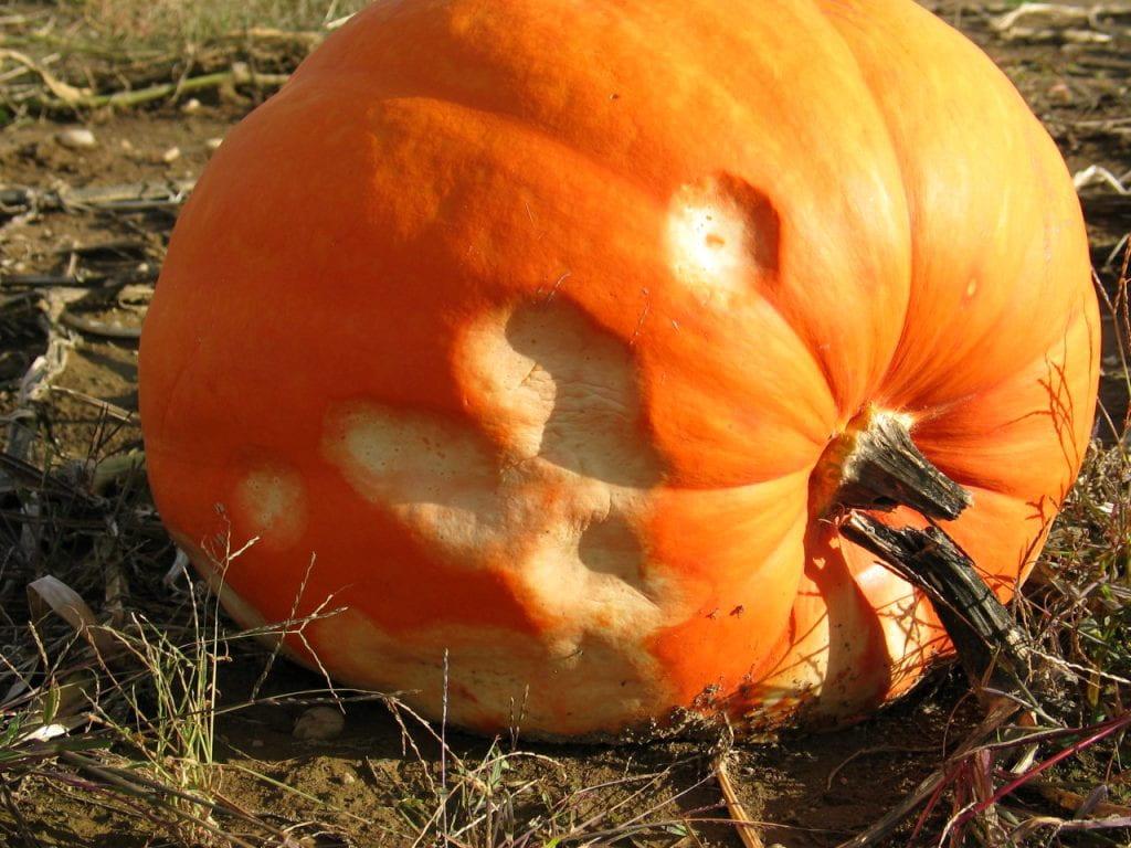 damaged pumpkin with depressed spots