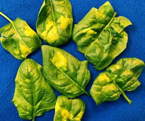 seven spinach leaves