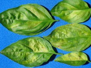 upper side of basil leaves