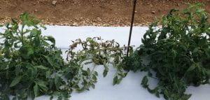 three tomato plants
